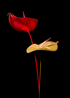 75X50 ANTHURIUM - ULTRAFLOWERS